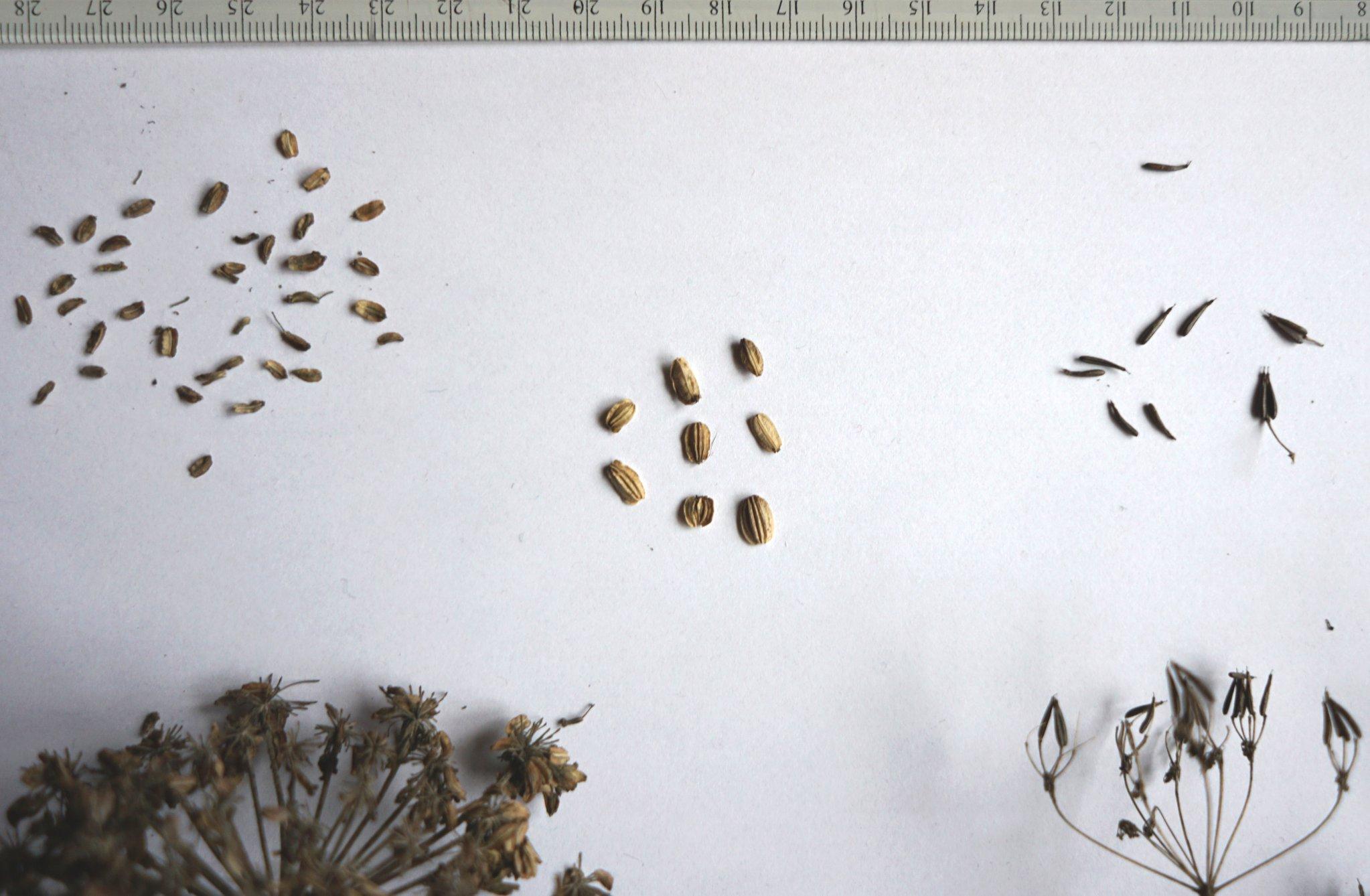Hedelmävertailu: karhunputki, väinönputki, koiranputki