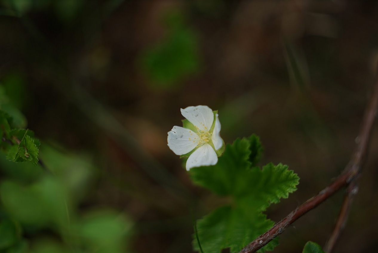Lakan kukka
