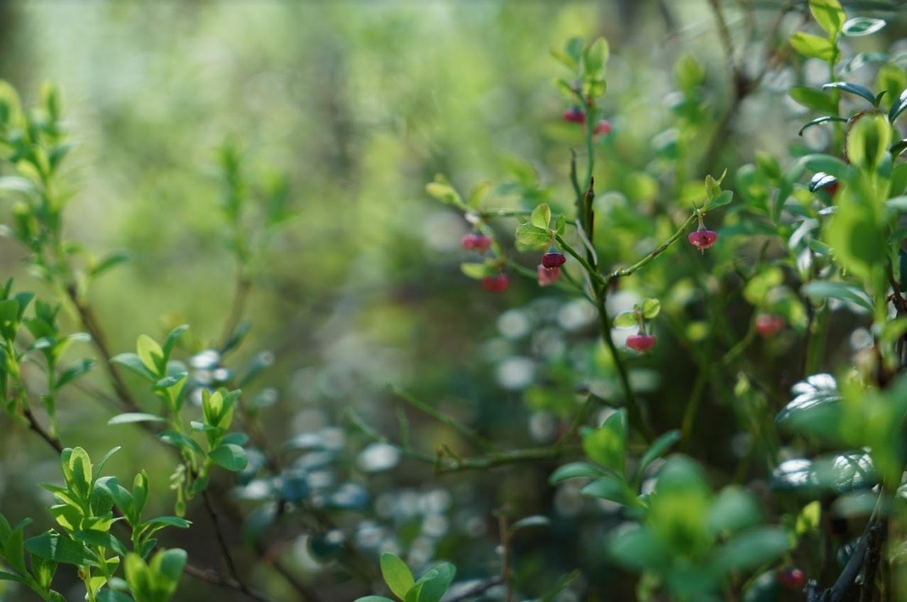 Mustikan kukka